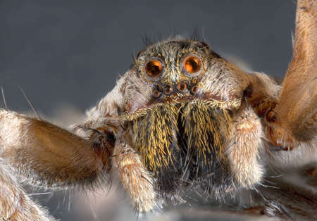 Ultra Macro Shoot of Wolf Jumping Spider Stock Photo - 15279264