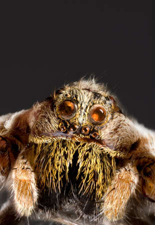 Macro Shoot of Wolf Jumping Spider photo