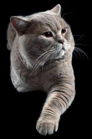 British Shorthair Cat Isolated on Black Background photo