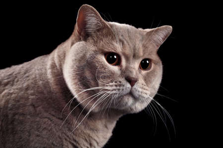 British Short Hair Cat Isolated on Black Background photo