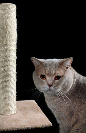 English Short Hair Cat and Scratching Post Isolated on Black Background photo