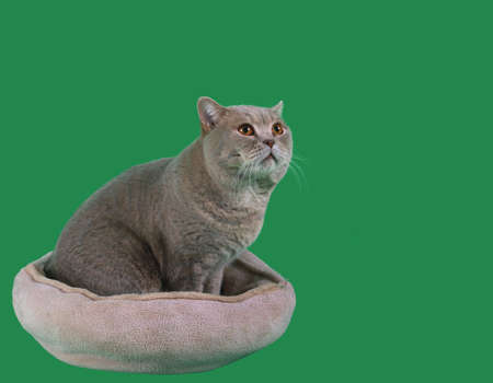 catnap: Adorable British Short Hair Cat in the Catnap Isolated on Green Background