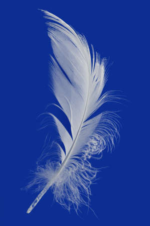 Goose Feather Isolated on Blue Background photo