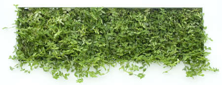 Vertical Garden of Green Creeper Isolated on White Wall
