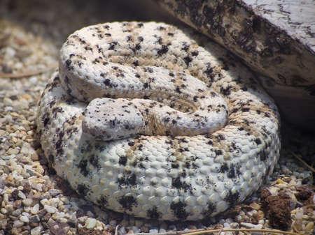 serpiente de cascabel: Serpiente de cascabel manchada al sudoeste, Crotalus Mitchelli Pyrrus