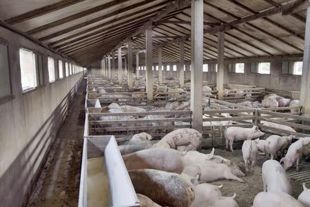 大きな豚繁殖豚農場