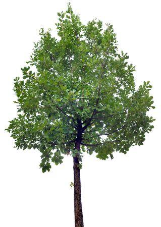 Oak Tree aisladas sobre fondo blanco