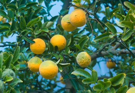 Poncirus Trifoliata. Japanese Bitter Orange. Citrus Trifoliata Fruit Tree. Hardy Orange. Trifoliate Orange. Citrus Tree. Chinese Bitter Orange. Banque d'images
