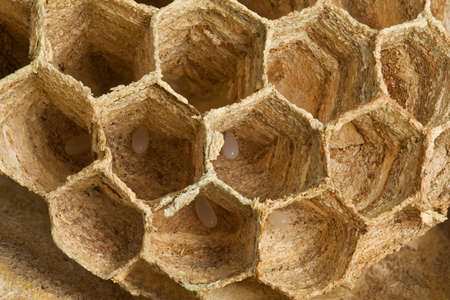 Detail of European Wasp Nest with Larvae Inside