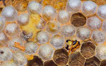 Closeup of Hatching European Hornet from the honeycomb inside the nest