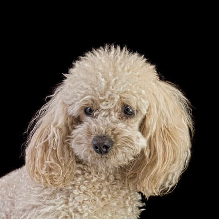 Apricot Medium Poodle Isolated on Black Background