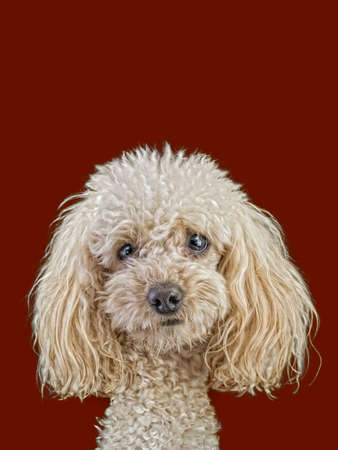 Apricot Medium Poodle Isolated on Brown Background