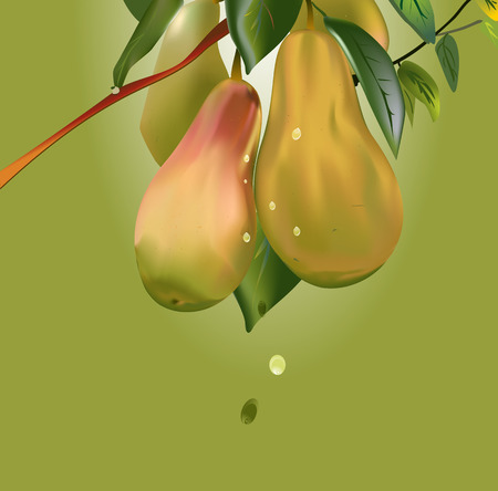 immature: an illustration of a  bunch of ripe green, yellow and red pears with rain drops on a brown branch surrounded with pear-tree leaves