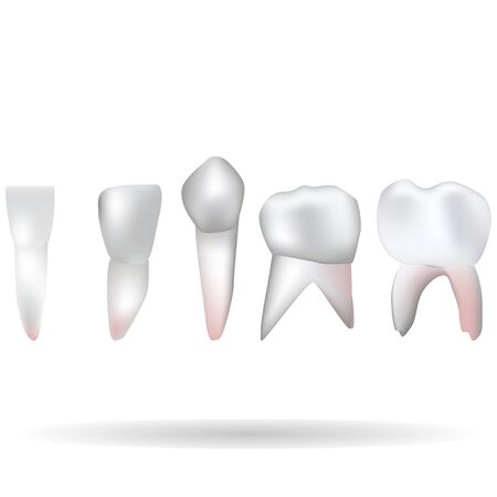 an isolated vector illustration of a set of human teeth