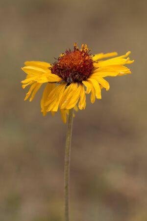 Yellow sunflower Stock fotó