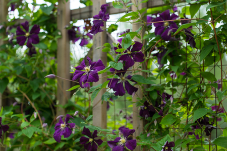 clematis: Purple clematis on a trellis