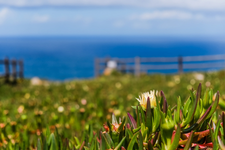 Yellow Hottentot fig flowers field with blurred Atlantic ocean in the background at Cabo da Roca. Sintra, Lisbon, Portugal.