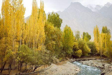 Nature landscape view of yellow leaves poplar trees in the forest with flowing stream against snow capped Karakoram mountain range in Shigar. Gilgit Baltistan in autumn, Pakistan.