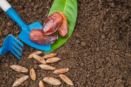 Top view of organic ripe dates fruit product and seeds on soil and agricultural equipment for tree planting in orchard with copy space Banque d'images