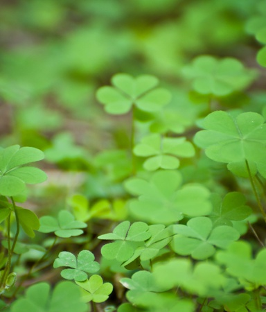 a cluster of green clover photo