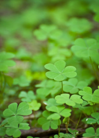 acetosella: a cluster of green clover Stock Photo