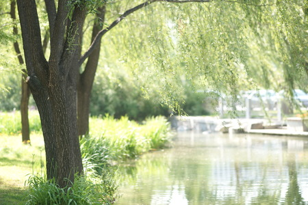 riverside trees: Windy willow in the summer river Stock Photo