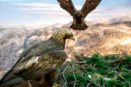Golden Eagle Foto de archivo