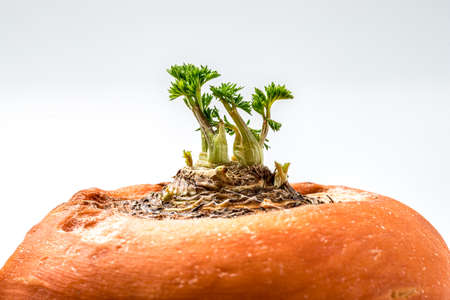 Germination of carrot