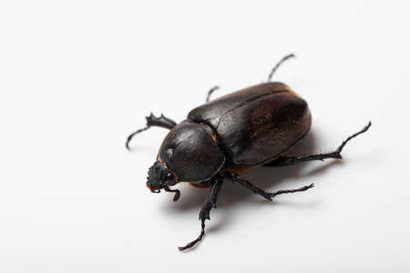 Beetle female 版權商用圖片