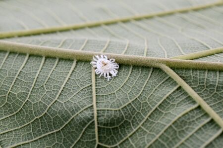 Mealybug insect on green nature leaf plant
