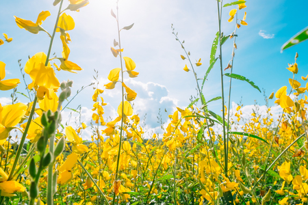 Beautiful landscape yellow flower field with blue sky and sunlight. Crotalaria juncea, Sunn hemp, Indian hemp, Madras hemp or brown hemp. Planted for soil improvement. Stock Photo