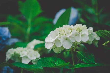 Natural Hydrangea flowers  (Hydrangea macrophylla) are blooming along with green background. Stock Photo