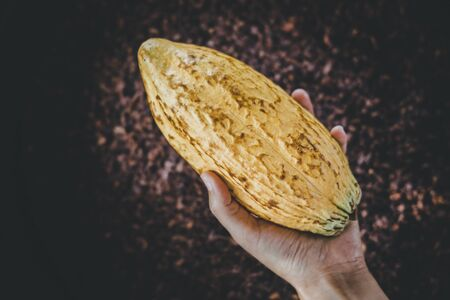 Picture of the yellow shell cocoa fruit on hand,  Fruits that are processed into desserts.