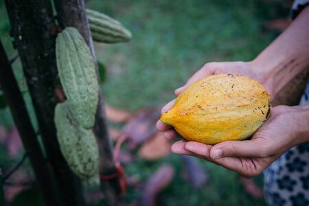 Cocoa tree ( Theobroma cacao ), Close up Fruit on a growing tree. It can be used to make chocolate.