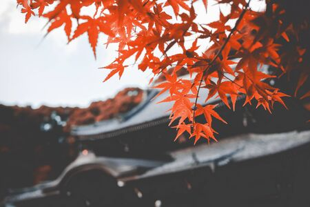 Maple leaf color is changing colors in the fall, with the sky background and the temple roof as background.