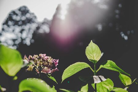 Natural Hydrangea flowers are blooming along with green background.