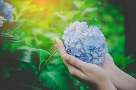 Hydrangea blue flowers (Hydrangea macrophylla) are blooming beautifully, Put on your hands and warm soft colors.