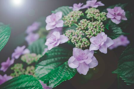 Natural Hydrangea flowers (Hydrangea macrophylla) are blooming along with green background.