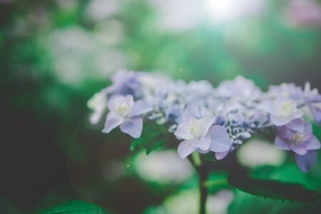 Natural Hydrangea flowers  (Hydrangea macrophylla) are blooming along with green background. Stok Fotoğraf