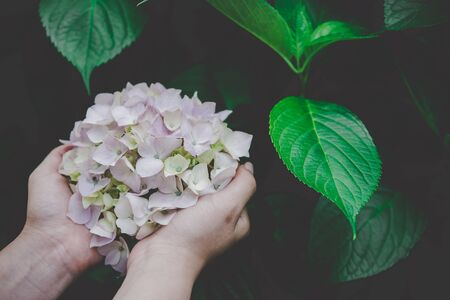 Hydrangea flowers (Hydrangea macrophylla) are blooming beautifully, Put on your hands and warm soft colors. Stok Fotoğraf
