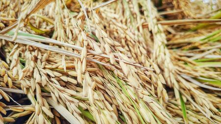 image of harvested paddy grain background