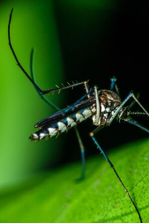 A male Aedes mosquito is sitting on top of a leaf and having a meal