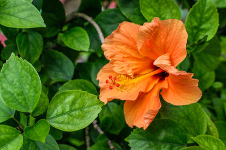 An isolated orange china rose flower with leaves 写真素材