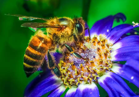 A honey bee is extracting nectar from flower. Closeup shot