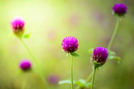 bachelors: Close up of purple Globe Amaranth flower or Bachelors Buttons Stock Photo