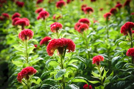 Cockscomb flowers on a green leaf background