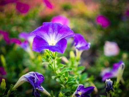 hybrida: Close up of  Petunia hybrida