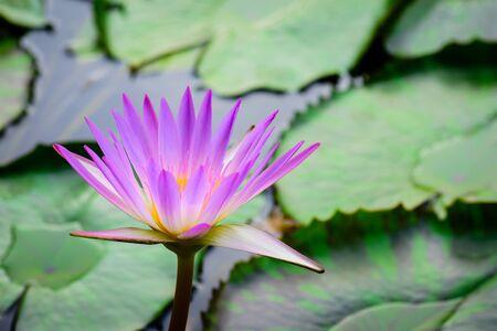 Close up of purple lotus