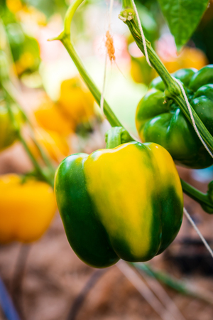 colorful sweet, bell pepper on the plant Stockfoto