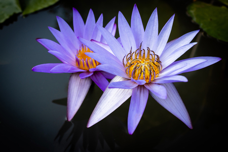 Purple lotus in the water.